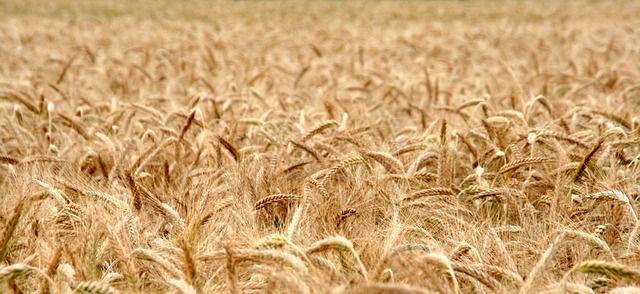 durum wheat Senatore Cappelli organic