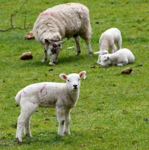 Lamb Fattoria Donna Tina Farm