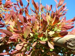 eucaliptus honey fattoria donna tina