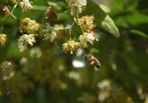 Linden Honey fattoria donna tina